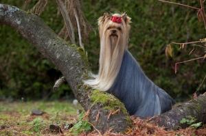 belle allure du yorkshire terrier en équilibre sur un arbre